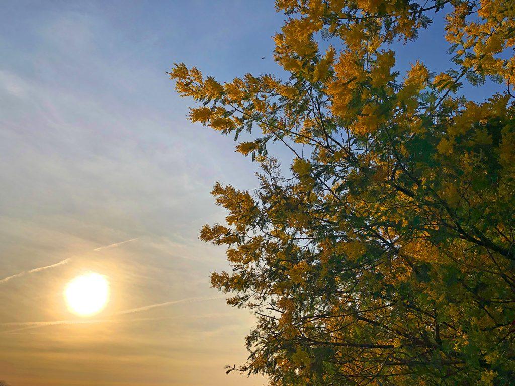 Le Printemps avant l'heure Soleil et mimosa